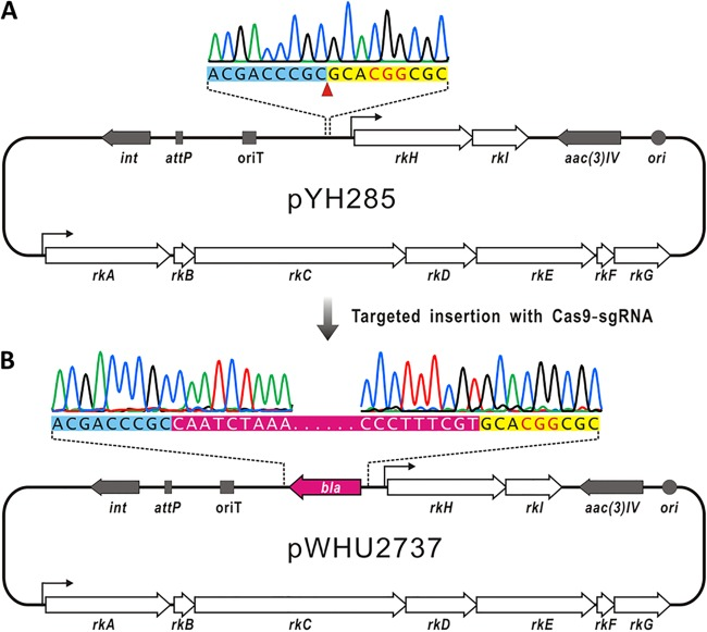 Targeted insertion of bla gene in plasmid pYH285 by ICE system. (A) Schematic representation of the target site in pYH285 plasmid. The target region is shown as the top panel, in which the Cas9 cleavage site is indicated by a red triangle and the PAM sequence is highlighted in red. (B) DNA sequencing confirmation of bla insertion in a recombinant plasmid.