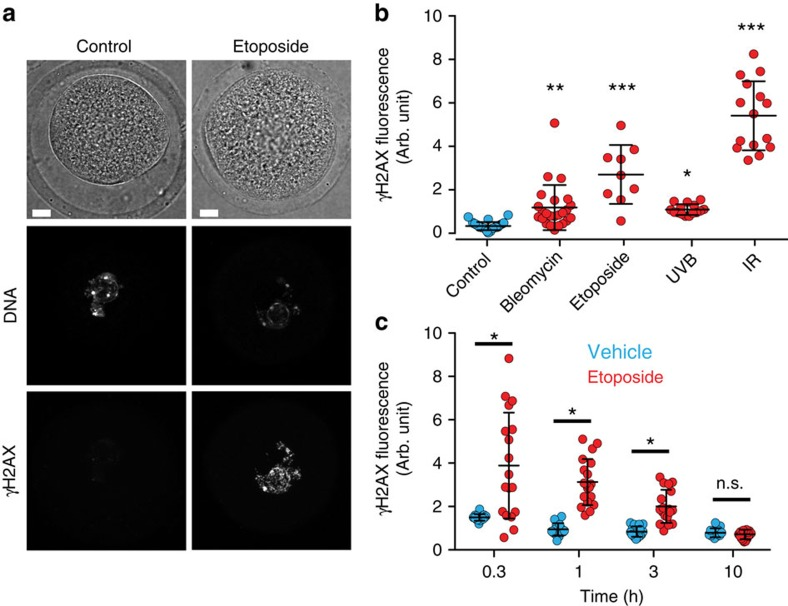 DNA damage induction and repair in GV oocytes. ( a ) Representative γH2AX immunofluorescence in a GV oocyte following either no treatment (control), or etoposide (25 μg ml −1 ). γH2AX staining is negligible in the control oocyte but visible in the nucleus following DNA damage. Scale bar, 5 μm. ( b ) Nuclear γH2AX immunofluorescence levels in individual oocytes following etopiside (25 μg ml −1 ), bleomycin (1 μM), ultraviolet B (UVB, 300 nm, 30 s) or ionizing radiation (IR, 4.5 Gy). Data are pooled from three mice for each condition. ( c ) Nuclear γH2AX accumulation in oocytes at various times after etoposide (25 μg ml −1 ) exposure. Oocytes were maintained in GV arrest for the times indicated after 15-min exposure to etoposide or vehicle (0.1% DMSO). Nuclear γH2AX accumulation following etoposide exposure is initially high, but drops to control levels over 10 h. Oocytes were pooled from four mice. ( a – c ) Oocytes were fixed at either 15 min (etoposide and bleomycin) or 40 min after treatment. ( b , c ) Each data point represents one oocyte; means and s.d. are represented by the horizontal lines; * P