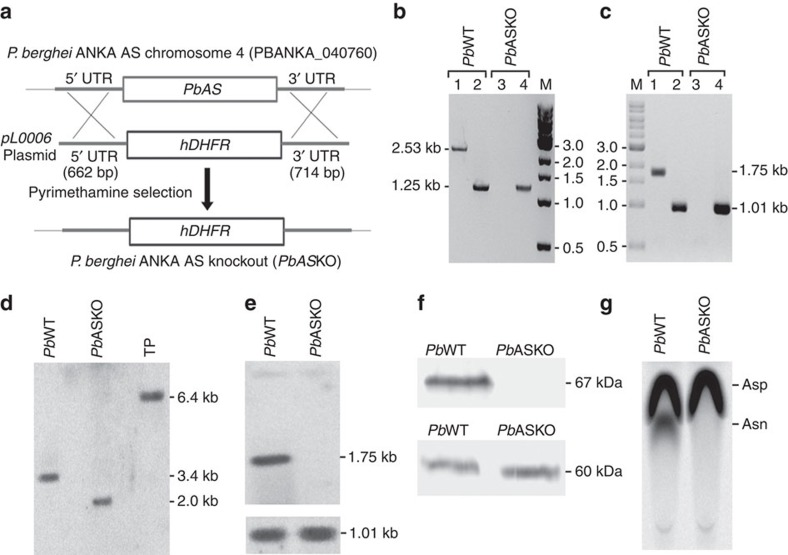Generation of AS knockout in P. berghei . ( a ) Double cross-over recombination strategy followed to generate Pb <t>ASKO.</t> ( b ) PCR analysis for genomic DNA isolated from Pb WT and Pb ASKO parasites. Lane 1 and 3: PCR with Pb AS-specific primers; Lane 2 and 4: PCR with Pb GAPDH-specific primers (control); Lane M: 1 kb DNA ladder. ( c ) RT-PCR analysis for RNA isolated from Pb WT and Pb ASKO parasites. Lane 1 and 3: RT-PCR with Pb AS-specific primers; Lane 2 and 4: RT-PCR with Pb GAPDH specific primers (control); Lane M: 1 kb DNA ladder. ( d ) Southern analysis for genomic DNA isolated from Pb WT and Pb ASKO parasites. Transgenic plasmid (TP) was also included as control to rule out the presence of any episomes. Genomic DNA preparations and TP were digested with <t>BsrGI</t> and XbaI followed by hybridization with 5′-UTR specific probe. ( e ) Northern analysis for RNA isolated from Pb WT and Pb ASKO parasites indicating the absence of AS mRNA (1.75 kb) in Pb ASKO. For control, GAPDH (1.01 kb; lower panel) was used (full blots are shown in Supplementary Fig. 6 ). ( f ) Western blot analysis indicating the absence of AS (67 kDa) in Pb ASKO parasite lysate ( Supplementary Fig. 6 ). Parasite lysates of Pb WT and Pb ASKO containing 100 μg of total protein were used. For control, hsp60 (60 kDa) was used (lower panel). ( g ) Enzyme assays for Pb WT and Pb ASKO parasites using [U- 14 C]-aspartate. 200 μg of total protein was used per assay.