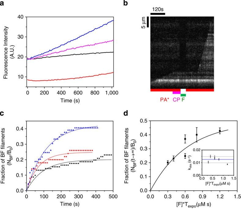 Formin mDia1 binds to CP-capped filaments and rapidly uncaps via a transient BCF state. ( a ) Pyrene actin polymerization assay demonstrates uncapping of capped barbed ends (BC), by formin. Capped filaments (5 μM F-actin, 2% pyrenyl labelled and 5 nM CP) were diluted 50-fold in F-buffer containing 2 μM G-actin (2% pyrenyl labelled) and 6 μM profilin and the following additions: none (black), 2 nM formin (blue) and 4 μM CIN85 (magenta). Red curve is a filament nucleation control (2 μM actin, 6 μM profilin and 2 nM formin) in the absence of CP-capped filaments. Note that a small percentage of non-capped filaments are responsible for the non-zero initial rate in the black (free barbed ends) and blue (formin-bound barbed ends) curves. Dead time is about 20 s. ( b ) Kymograph of a capped filament undergoing uncapping and fast processive growth on exposure to formin mDia1. Filament was elongated from anchored spectrin–actin seeds in the presence of PA, then exposed to 20 nM CP and PA for 1 min (B+C→BC). The capped filament is later exposed to 40 nM formin in the absence of PA for 40 s (BC+F→BCF). Once formin was removed from the flow and PA was introduced, fast elongation was observed (BCF→BF+C). ( c ) Fraction of filaments (in experiment described in b ) that resume rapid elongation (BF state) during exposure to PA only, versus time, from an initial population of capped filaments exposed to 10 nM (black, n =91 filaments), 20 nM (red, n =50 filaments) and 40 nM (blue, n =69 filaments) formin for 30 s. Symbols represent the experimental data and the solid lines are the exponential fits. Only three representative CDFs are shown here for the ease of reading, see Supplementary Fig. 9 for details. ( d ) The maximum fraction of BF filaments (plateau values of curves such as shown in c ) as a function of formin concentration [F] times the exposure duration ( T expo ). The solid line is an exponential fit corresponding to equation (3) . Inset: k obs = k ′ −C + k ′ −F is independe