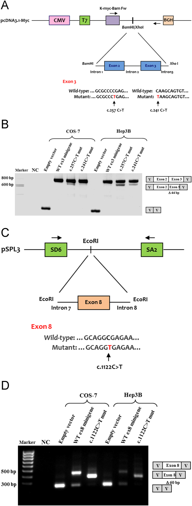 Splicing assays for the wild-type (WT) and mutant minigenes corresponding to the IDS nucleotide changes c.257C > T and c.241C > T in exon 3, and c.1122C > T in exon 8. (A, C) Diagrams of the reporter minigenes used in the functional splicing experiments. Normal and mutated genomic IDS sequences were cloned into the pcDNA3.1-myc or pSPL3 vectors to generate the indicated minigenes. Exons are shown by boxes and introns by straight lines. For all exonic alterations, the WT and mutant regions are shown and the specific changes marked by an arrow. (B, D) Wild-type and mutant minigenes were transfected into COS-7 and Hep3B cells and the splicing pattern analyzed by RT-PCR using the indicated vector-specific primers (arrows in diagrams A and C). Minigene expression of the splicing mutations in exon 3 (c.257C > T and c.241C > T) revealed two transcripts, a predominant one with exon 2 and a mutated exon 3, and a minor transcript of smaller size in which the first 44 nucleotides of exon 3 were missing. The WT minigene produced a single transcript of normal size (B). For the synonymous c.1122C > T change in exon 8, the mutant minigene showed a single transcript lacking the last 60bp of exon 8. The WT construct produced two bands, one corresponding to the transcript with exon 8 inserted, the other to a transcript resulting from an expected splicing event between the vector splice sites (D). A diagram of the bands characterized by sequence analysis is also provided. NC – negative control; V – vector sequence.