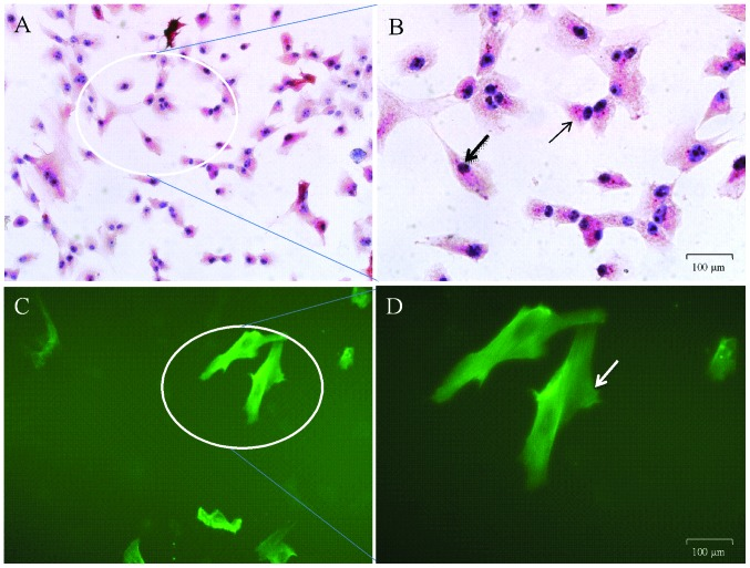 Data of (A and B) immunocytochemical identification of the cells preloaded with α-smooth muscle actin and (C and D) immunofluorescent identification of the cells preloaded with fluorescein isothiocyanate. The images in (A) and (B) were obtained under an inverted system microscope (magnification, x200 and x400, respectively) and those in (C) and (D) under an inverted fluorescent microscope (magnification, x200 and x400, respectively) in the condition of absorption peak at 492 nm and emission peak at 520 nm. The magnified cells in (B) are various shapes, including irregular triangle and fusiform, are illustrated with a thin arrow and common arrow, respectively. The arrow in (D) also indicates airway smooth muscle cells in fusiform identified with immunofluorescent staining.