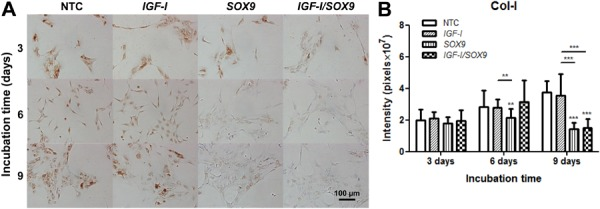Immunocytochemical detection of Col-I. Specific anti-Col-I primary monoclonal antibodies ( A ) were used to stain the non-transfected human chondrocytes (NTC) and those following <t>transfection</t> with pCMV-SPORT6 IGF-I ( IGF-I ), pCMV-SPORT6 SOX9 ( SOX9 ), or cotransfection with both plasmids ( IGF-I/SOX9 ). Images were taken on days 3, 6, and 9 post-transfection. Once transfected, the cells were incubated at 37°C in a 5% CO 2 atmosphere. Quantified in situ densitometry is shown in the bar graph ( B ). Data are reported as the average and standard deviation of the densitometry value normalized to the number of cells in the evaluated area (expressed in pixels ×10 7 ), which was performed on all chondrocytes observed in 32 images on days 3, 6, and 9 post-transfection. ***P