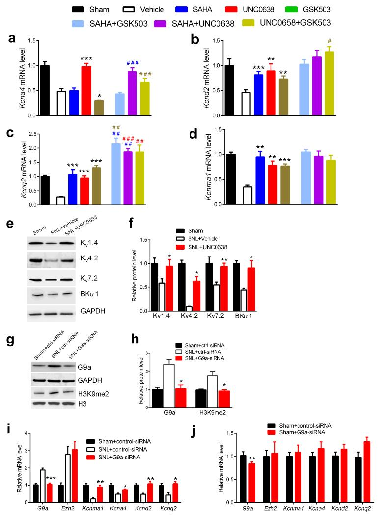 Inhibition of G9a activity normalizes K + channel gene expression in the DRG diminished by nerve injury ( a-d) Effects of intrathecal treatments with vehicle (n = 10), SAHA (50 μg, n = 9), UNC0638 (10 μg, n = 8), GSK503 (5 μg, n = 10), SAHA plus GSK503 (n = 8), SAHA plus UNC0638 (n = 9) or UNC0638 plus GSK503 (n = 8) on the mRNA levels of Kcna4 ( a ), Kcnd2 ( b ), Kcnq2 ( c ), and Kcnma1 ( d ) in the DRG obtained from SNL rats 28 days after surgery. Data from sham control rats were plotted as the control (n = 6 rats). ( e,f ) Effects of nerve injury and UNC0638 on the protein levels of Kv1.4, Kv4.2, Kv7.2 and BKα1 in the L5 and L6 DRG (n = 6 rats in each group). ( g,h ) Effect of G9a-specific siRNA on the G9a and H3K9me2 protein levels in the DRG obtained from SNL rats 24 h after the last injection (n = 5 in each group). ( i,j ) Effects of G9a-specific siRNA on the mRNA levels of G9a, Ezh2, Kcna4, Kcnd2, Kcnq2 and Kcnma1 in the DRG obtained from SNL ( i ) and sham control ( j ) rats 24 h after the last injection (n = 10 in each group). Data are presented as mean ± s.e.m. Statistical analysis was performed using two-way ANOVA followed by Bonferroni's post hoc tests ( a-d ), one-way ANOVA ( f,h,i ), or Mann-Whitney test ( j ). * P