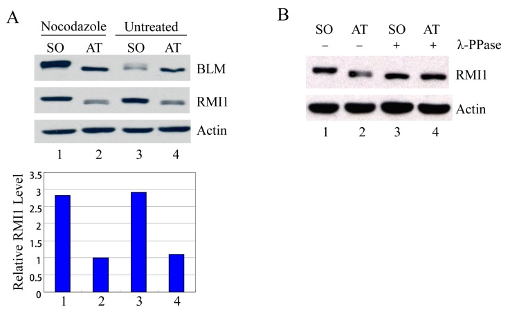 RMI1 accumulates and is phosphorylated in mitosis. ( A ) Mitotic cells were harvested by mechanical shake-off from the nocodazole-arrested HeLa cells and untreated asynchronous HeLa cells. Attached cells were considered as interphase cells. Upper panel: Total cell lysates were analyzed by Western blot; Lower panel: The relative RMI1 protein levels were calculated according to their densitometry readings, which were normalized by the corresponding Actin bands; ( B ) Nocodazole-treated cell lysates were subjected to the λ-phosphatase treatment or not. SO: shake-off cells; AT: attached cells. Numbers under the panels stand for the lane number.