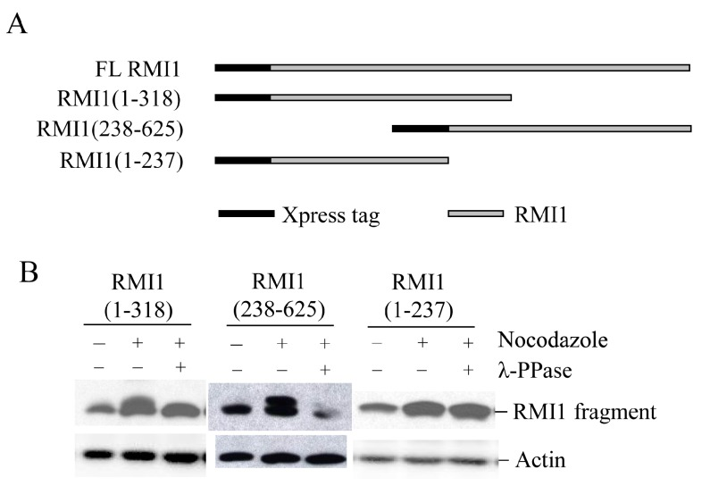 Mapping RMI1 mitotic phosphorylation sites. ( A ) Schematic representation of full-length (FL) Xpress-RMI1 and truncated fragments; ( B ) 293T cells were transfected with the constructs shown above. Thirty-two hours later, cells were treated with nocodazole or not for 16 h prior to harvest. Extracted proteins were treated with λ-phosphatase or not as shown, then resolved by 8% polyacrylamide gel and blotted with anti-Xpress antibody.