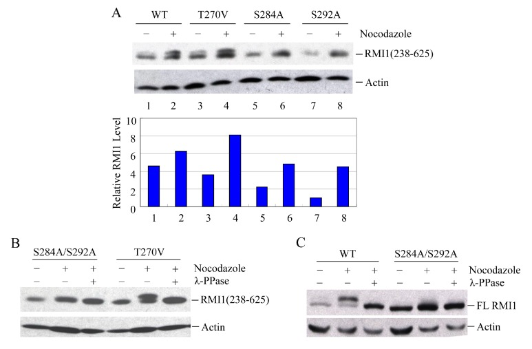 Ser284 and Ser292 are RMI1 mitotic phosphorylation sites. The indicated RMI1 mutants were transiently transfected into 293T cells followed by nocodazole treatment or not for 16 h. Ectopic expression of wild type (WT), T270V, S284A or S292A ( A ); or S284A/S292A, T270V mutation of RMI1 (238–625) fragment ( B ); ( C ) Ectopic expression of full-length wild-type RMI1 or S284A/S292A mutant. Nocodazole treatment and phosphatase treatment were applied as indicated. Quantified relative RMI1 protein levels are shown under the corresponding blots.