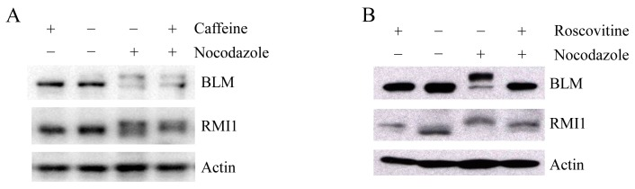 Mitotic RMI1 phosphorylation is partly reversed after roscovitine treatment. HeLa cells were left untreated or treated with nocodazole for 18 h. Thereafter, caffeine ( A ) or roscovitine ( B ) was added for 2 h. Cell lysates were analyzed by Western blotting.