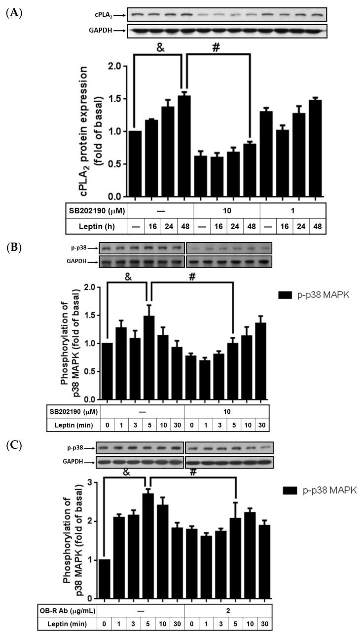 SB202190 attenuation of cPLA 2 -α expression and p38 MAPK phosphorylation. Serum-starved A549 cells were pretreated with different concentrations of SB202190 or the OB-R antibody for 1 h and then stimulated by 1 µg/mL of leptin for the indicated time intervals. At the end of incubation, the cells were harvested and cell lysates were extracted. ( A ) Expression of cPLA 2 -α and ( B , C ) phosphorylation of p38 MAPK were detected using Western blot with specific antibodies. Cell membranes were stripped and reprobed with the anti-GAPDH antibody as internal controls. The data are expressed as mean ± SEM of five independent experiments ( n = 5). p