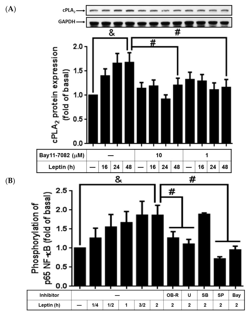 Effects of Bay11-7082 on leptin-regulated cPLA 2 -α expression and p65 phosphorylation. Serum-starved A549 cells were pretreated with different concentrations of Bay11-7082, OB-R (2 µg/mL), U0126 (10 µM), SB202190 (10 µM), SP600125 (10 µM), or Bay11-7082 (10 µM) for 1 h. The cells were then stimulated by 1 µg/mL of leptin for the indicated time intervals. At the end of incubation, the cells were harvested and cell lysates were extracted. ( A ) Expression of cPLA 2 -α and ( B ) Ser276 phosphorylation of p65 were detected using Western blot with specific antibodies. The cell membranes were stripped and reprobed with the anti-GAPDH antibody as internal controls. The data are expressed as mean ± SEM of five independent experiments ( n = 5). p