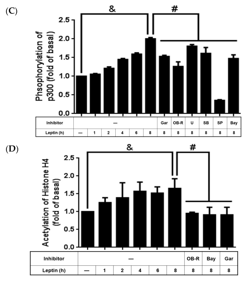 Effects of garcinol and p300 siRNA on leptin-stimulated A549 cells. Serum-starved A549 cells were pretreated with the OB-R antibody (2 µg/mL), U0126 (10 µM), SB202190 (10 µM), SP600125 (10 µM), Bay11-7082 (10 µM), or garcinol (1 µM) for 1 h. Other cells were transfected with 100 nM p300 siRNA or scrambled siRNA as described in the Experimental section. The cells were then incubated with 1 µg/mL of leptin for the indicated time intervals. At the end of the incubation, the cells were harvested and cell lysates were extracted. ( A , B ) Expression of cPLA 2 -α and p300; ( C ) phosphorylation of p65; and ( D ) acetylation of histone H4 were detected using Western blot with specific antibodies. Cell membranes were stripped and reprobed with the anti-GAPDH antibody as internal controls. The data are expressed as mean ± SEM of 5 independent experiments ( n = 5). p