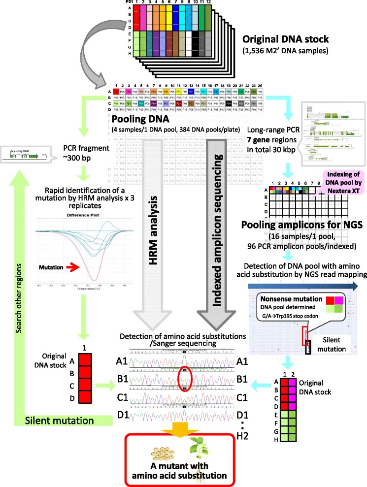 Mutant discovery by using HRM and indexed amplicon sequencing. DNA extracted from M2' plants was preserved as the original DNA stock in 96-well plates. The DNA pool in a 384-well plate (four samples per pool) was used for both methods. After a mutation was detected by HRM analysis, base changes in four original DNA samples were confirmed by direct sequencing. If the mutation was found to be silent, HRM analysis and direct sequencing of other regions were performed. In indexed amplicon sequencing, 7 target gene regions (1.3–7.5 kb, 30.3 kb in total) were amplified by long-range PCR. The amplicons of four samples were further pooled. The 96 samples were indexed by using a transposome-based Nextera XT Index kit. Bulk read data for all 96 DNA pools were obtained from Miseq and mapped onto the reference sequences of target genes after classification of the DNA pool by using indices. Base changes at high frequency in many reads were treated as a mutation and were filtered by using a Glyma_189 gene annotation to exclude mutations that did not lead to amino acid substitutions. Based on the information from DNA pool classification with indices, the base change and the plant in which it occurred could be determined by direct sequencing of each of the 16 original M2' DNA samples. Amplicon sequencing using NGS allows rapid and effective detection of DNA pools containing mutations that cause desirable functional amino acid substitutions