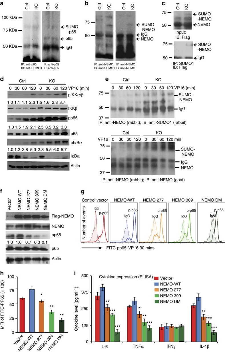 SENP1 deletion augments <t>NEMO</t> SUMOylation and cytokine expression in the adipocytes. ( a , b ). SUMOylation of NEMO, but not p65/RelA, was enhanced in the adipocytes of SENP1-aP2KO mice. Proteins extracted from the adipocytes of Ctrl and SENP1-aP2KO mice at the age of 5 weeks were subjected to immunoprecipitation with p65/RelA ( a ) or NEMO ( b ) antibodies followed by western blotting with anti-SUMO1, anti-p65/RelA or anti-NEMO. Proteins are indicated. Representative blots from one pair of Ctrl and SENP1-aP2KO mice are shown. Similar results were obtained from additional two pairs of mice. ( c ) Flag-tagged NEMO was transfected into adipocytes from Ctrl and SENP1-aP2KO mice at the age of 5 weeks. Proteins extracted were subjected to immunoprecipitation with SUMO1 antibody followed by western blotting with anti-flag. Input for flag-NEMO was detected with flag antibody. Representative blots from one pair of Ctrl and SENP1-aP2KO mice are shown. Similar results were obtained from additional two pairs of mice. ( d ) Effect of SENP1 deletion on stress-induced IKK activation, p65/RelA phosphorylation and NEMO SUMOylation. Adipocytes from Ctrl and SENP1-aP2KO mice were treated with VP16 (10 μM) for indicated times. IKK-NF-κB p65/RelA signalling molecules were determined by western blot. Ratios of p-IKK/IKK, p-p65/RelA/p65/RelA and pIκB-α were quantified by taking Ctrl as 1.0. Representative blots from one pair of Ctrl and SENP1-aP2KO mice are shown. Similar results were obtained from additional two pairs of mice. ( e ) VP16-induced NEMO SUMOylation was determined by co-immunoprecipitation assay with anti-NEMO (a rabbit polyclonal IgG) followed by immunoblotting with anti-SUMO1 (a rabbit polyclonal) and anti-NEMO (a goat polyclonal IgG). Representative blots from three independent experiments are shown. ( f ) Primary adipocytes isolated from the adipose tissue of SENP1-aP2KO mice at the age of 5 weeks were reconstituted with Flag-tagged NEMO-WT, K277R, K309R or <t>K27