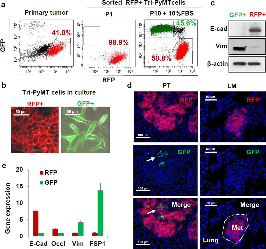 The EMT lineage tracing system reports EMT in tumor cells with high fidelity a , Scatter plots from flow cytometry analysis of Tri-PyMT primary tumor cells, depicting GFP+ and RFP+ populations in the primary tumor immediately after sorting of RFP+ cells (P1), and after 10 passages in culture with 10% FBS (P10+10%FBS). Numbers indicate the percentage of RFP+ and GFP+ cells in the total population. b , Phase contrast/fluorescent overlay image of Tri-PyMT cells in culture. c , Western blot of sorted RFP+ and GFP+ Tri-PyMT cells for E-cadherin, vimentin and β-actin as a loading control. Representative of 2 individual experiments. For gel source data, see Supplementary Figure 1 . d , Representative imaging of GFP+ and RFP+ tumor cells in primary tumors (PT) and lung metastases (LM) in the orthotopic model (n=8 mice). Arrow indicates scattered GFP+EMT tumor cells in the primary tumor. e , Q-RT-PCR analysis of relative expression of EMT markers in RFP+ and GFP+ cells sorted from orthotopic Tri-PyMT primary tumors. GAPDH served as the internal control. Data are reported as mean ± SEM, n=4 primary tumors.