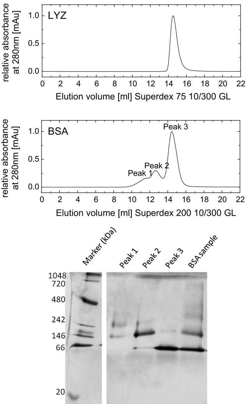 Size-exclusion chromatogram of LYZ and BSA ( top ) and blue native (BN) PAGE of BSA performed on the elution volume of different peaks of the size-exclusion chromatography ( bottom )