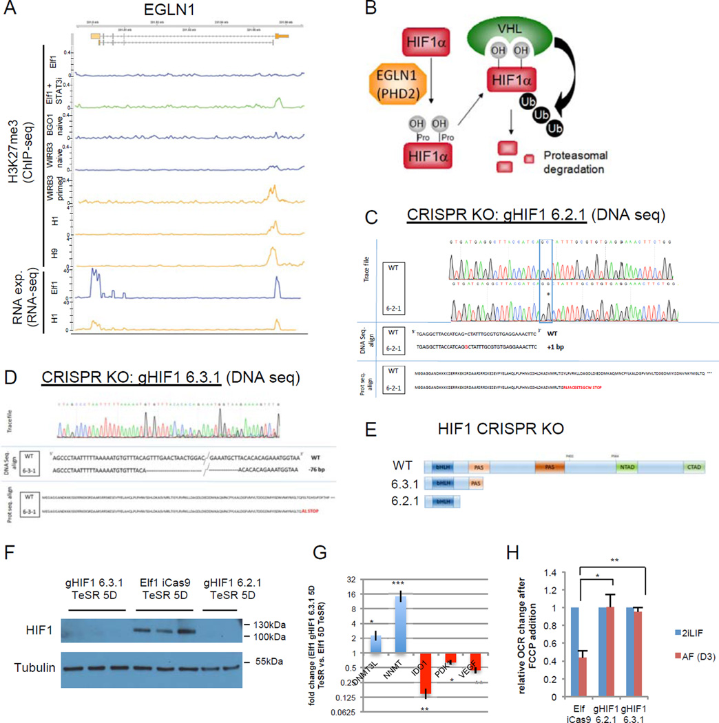 HIF1α is required for naïve to primed hESC transition A: screen shot of RNA expression and H3K27me3 marks of EGLN1 (PHD2) in naïve hESCs [Elf1 12 , WIRB3 naïve and BGO1 naïve 8 )], primed hESCs [WIRB3 primed 8 , H1 and H9 64 and Elf1 treated with STAT3 inhbitor (100 µM) for 6h. B: HIFα is hydroxylated on prolyl residues by EGLN1 (PHD2), leading to VHL-mediated proteolysis. C-D: Sequencing trace files, DNA sequences and protein sequences of HIF1α CRISPR-Cas9 knock-out (KO) mutant clones (gHIF1 6.2.1, C; gHIF1 6.3.1, D). E: schematic representation of wild type HIF1α protein and proteins resulting from CRISPR-Cas9 knock-out (KO) mutants gHIF1 6.2.1 and gHIF1 6.3.1. bHLH= basic helix-loop-helix domain, PAS= Per-Arnt-Sim domain, NTAD= N-terminus transcriptional activation domain, CTAD= C-terminus transcriptional activation domain. F: HIF1α is not expressed in CRISPR-Cas9 KO mutants. Western blot analysis of HIF1α expression in cells pushed toward the primed stage by culture in TeSR1 for 5 days in wild type Elf1 cells (iCas9 Elf1), and two CRISPR-Cas9 KO mutants of HIF1α (gHIF1 6.2.1 and gHIF1 6.3.1). G: qPCR analysis of hESCs transitioning to primed reveals that naïve markers (DNMT3L and NNMT) are still expressed higher in Elf1 HIF1α CRISPR-Cas9 KO cells compared to wild type Elf1, while primed marker IDO1 and HIF target genes (PDK1 and VEGFA) are downregulated (n=3; s.e.m.; p=0.024 for DNMT3L, p=0.0005 for NNMT, p=0.001 for IDO1, p=0.12 for PDK1, p=0.004 for VEGFA; 2-tailed t-test). H: KO of HIF1α prevents the metabolic switch occurring during the transition of hESCs from naïve to primed state as shown by measuring OCR after FCCP addition using SeaHorse. n=3 for gHIF1 6.3.1 2iLIF and AF and n=4 for Elf iCas9 and gHIF1 6.2.1 2iLIF and AF; s.e.m.; p=0.0117 for gHIF1 6.2.1 vs. Elf iCas9, p=0.0032 for gHIF1 6.3.1 vs. Elf iCas9; 2-tailed t-test. Unprocessed original scans of blots are shown in Supplementary Fig.9 . For raw data, see Supplementary Table 4 . n= number of biol