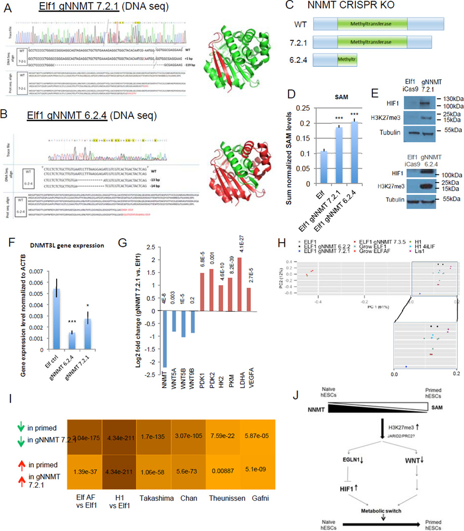 NNMT affects naïve to primed hESC transition by repressing Wnt pathway and activating HIF pathway A–B: Sequencing trace files, DNA sequences, protein sequences and 3D protein structures predicted from sequence (Pymol) of various NNMT CRISPR-Cas9 KO mutant clones (gNNMT 7.2.1, A; gNNMT 6.2.4, B). Green color represents the truncated NNMT protein in the CRISPR-Cas9 mutant. C: Schematic representation of wild type NNMT protein and proteins resulting from the CRISPR-Cas9 KO mutants gNNMT 7.2.1 and gNNMT 6.2.4. D: Elf1 NNMT CRISPR-Cas9 KO cells have higher amounts of SAM than wild type Elf1 cells (n=6; s.e.m.; p=1.23E-05 for gNNMT7.2.1, p=5.47E-06 for gNNMT6.2.4; 2-tailed t-test). E: Western blot analysis reveals higher HIF1α expression and H3K27me3 marks in Elf1 CRISPR-Cas9 KO mutants gNNMT 7.2.1 and gNNMT 6.2.4 compared to control Elf1 (iCas9) cells. F: qPCR analysis of the naïve marker DNMT3L in wild type Elf1 cells (n=6) and Elf1 CRISPR-Cas9 KO mutants gNNMT 7.2.1 (n=5) and gNNMT 6.2.4 (n=3). s.e.m.; p=0.0009 for gNNMT 6.2.4 vs. Elf1, p=0.027 for gNNMT 7.2.1 vs. Elf1; 2-tailed t-test. G: log2 fold expression change of NNMT, WNT ligands and HIF target genes in Elf1 CRISPR-Cas9 KO gNNMT 7.2.1 compared to wild type Elf1 cells (RNAseq). H: PCA plot of CRISPR NNMT knockout line and different naïve and primed lines sequenced in this study. gNNMT 6.2.2 and gNNM 7.3.5 are heterozogous controls. PC1 (x-axis) explains majority of the variation in the data (61%), and the gNNMT 7.2.1 knockdown line moved along x-axis substiantially away from other naïve lines and toward the primed state. I: Hypergeometric test p-values for the overlap between genes expressed higher (lower) in gNNMT 7.2.1 compared to Elf1 and genes expressed higher (lower) in primed lines compared to naïve lines from multiple studies. Color shade is proportional to negative log10 of p-values. gNNMT 7.2.1 transcriptomic signature has significant overlap with all published primed transcriptomic datasets, supporting
