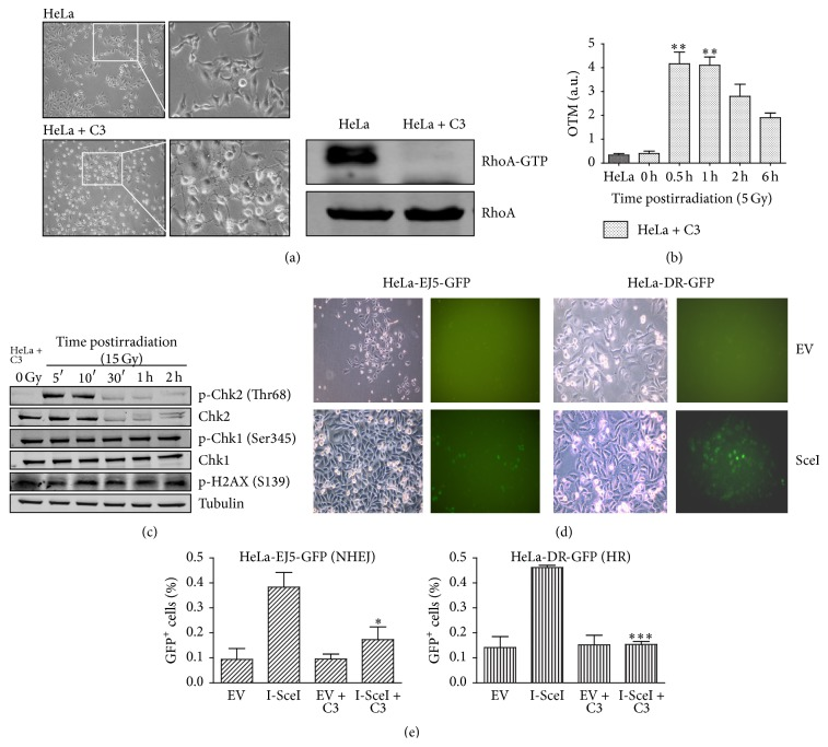 Inhibition of <t>RhoA</t> activity by C3 toxin expression strongly affects DNA damage response, including global and specific DNA repair mechanisms in HeLa cells, following γ -radiation. (a) Dendritic morphology of HeLa cells (HeLa + C3 images) associated with decreased <t>RhoA-GTP</t> levels (on the right), 24 h after transfection with a plasmid for C3 toxin expression. Images on the right are insets from those on the left, 200x. (b) Estimates of DNA damage and repair efficiency (by olive tail moment, or OTM, measurements from comet assays) in HeLa cell expressing the C3 toxin, following γ -radiation. (c) Immunoblotting analysis of the effects of γ -radiation (15 Gy) on phosphorylated Chk1/Chk2 and histone H2AX levels in HeLa cells expressing the C3 toxin (using α -Tubulin as a loading control). (d) and (e) Assays for GFP-based detection of homologous recombination (HR, using HeLa-DR-GFP) or nonhomologous end joining (NHEJ, using HeLa-EJ5-GFP) after DNA damage induced by I- Sce I restriction enzyme expression. (d) Phase contrast (left) and green fluorescence (right) images of cells transfected with a plasmid for I- Sce I expression (I- Sce I), or with an empty vector (EV), showing the appearance of GFP-positive cells indicative of HR (HeLa-EJ5-GFP) or NHEJ (HeLa-DR-GFP), 72 h after transfection. (e) Quantification of HR and NHEJ assays, with (EV + C3 and I- Sce I + C3 groups) or without (EV and I- Sce I groups) concomitant C3 toxin expression. Graphs (with mean ± SD values) and immunoblots are representative of three independent experiments. ∗ P