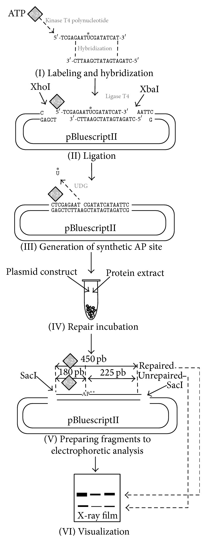 (I) A uracil-containing oligonucleotide was subjected to action of polynucleotide kinase to attach a radioactive phosphate group from [ γ - 32 P] ATP. It was hybridized with a second oligonucleotide whose sequence was adjusted to obtain sticky ends referring to XhoI and XbaI digestion site. (II) The short <t>DNA</t> fragment prepared in stage I was cloned into a pBluescriptII plasmid. (III) Uracil-DNA glycosylase was utilized to remove uracil and, as consequence, create a single gap in DNA to act as a synthetic lesion. (IV) A plasmid with single AP site constituted a substrate for the protein extract in 90-minute repair incubation. (V) Two <t>SacI</t> recognition sites of the pBluescriptII plasmid were used to excise 450 pb-long fragment covering the lesion site and radioactive label for analysis on 8% urea/acrylamide gel. (VI) Interpretation of outcomes was based on detection of two bands. The full-length 450 pb fragment reflects restored DNA fraction, whereas presence of short 180 pb fraction indicates the amount of unrepaired DNA. ∗ U: uracil; ∗∗ AP: apurinic/apyrimidinic.