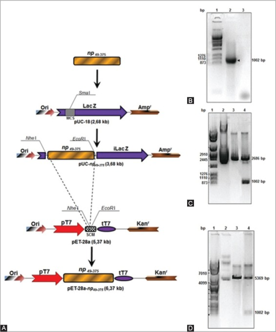 Isolation of a segment of the gene np and construction of the expression vector. (A) Cloning representation of a gene coding for a segment of the protein NP from avian influenza virus subtype H7N1 comprising the aminoacids 49-375 (np 49-375 ) in the plasmid pUC-18 and in the expression vector pET-28a. (B) Isolation of the gene np 49-375 by PCR. 1- Molecular weight marker (MWM) (pAdEasy digested with the enzyme Apa I), 2- DNA segment corresponding to the gene np 49-375 , 3- PCR reaction with primers and without template. (C) Electrophoresis in agarose gel (1%) of the restriction analysis for the plasmid pUC-np 49-375 . 1- MWM, 2- Plasmid pUC-np 49-375 undigested, 3- Plasmid pUC18 digested with the enzymes Nhe I/EcoR I, 4- Plasmid pUC-np 49-375 digested with the enzymes Nhe I/EcoR I. (D) Electrophoresis in agarose gel (1%) of the restriction analysis for the plasmid pET-28a-np 49-375 . 1- MWM, 2- Plasmid pET-28a-np 49-375 undigested, 3- Plasmid pET-28a digested with the enzymes Nhe I/EcoR I, 4- Plasmid pET-28a-np 49-375 digested with the enzymes Nhe I/EcoR I.