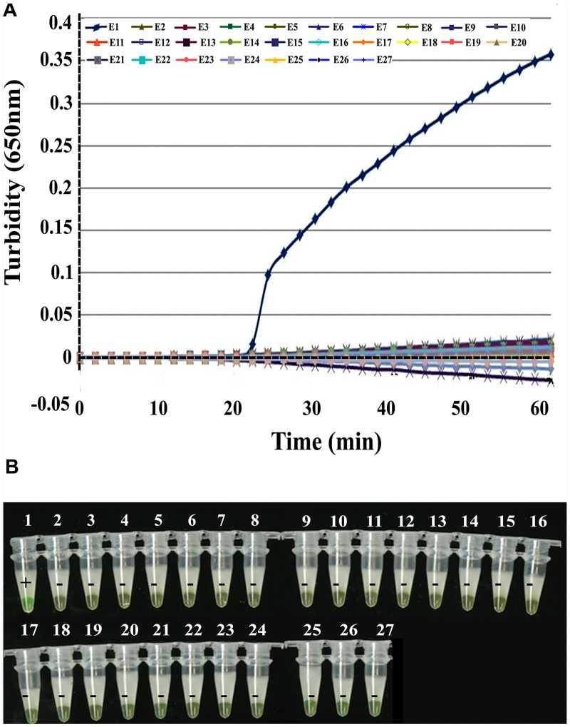 Specificity of EBOV NP detection by RT-LAMP. (A) Turbidity was monitored and recorded every 6 s by a Loopamp real-time turbidimeter at 650 nm. (B) Visual detection using a calcein fluorescent detection reagent. Lane 1, positive control (artificial EBOV RNA); lane 2, negative control (double-distilled water); lane 3, Sudan EBOV (artificial Sudan EBOV RNA); lane 4, MARV (artificial MARV RNA); lane 5, SARS coronavirus; lane 6, H7N9; lane 7, H1N1; lane 8, H2N3; lanes 9–12, human parainfluenza viruses (PIV) 1, 2, 3, and 4; lanes 13–15, adenoviruses (ADV; serotypes 3, 5, and 55); lanes 16 and 17, respiratory syncytial virus infection, RSVA, RSVB; lane 18, MERS RNA; lane 19, human metapneumovirus, HMPV; lane 20, bocavirus, BoV; lanes 21–24, human coronavirus, HCoV-229E, HCoV-OC43, HCoV-NL63, and HCoV-HKU1; lane 25, Legionella pneumophila 9135; lane 26, Mycobacterium tuberculosis 005; and lane 27, Haemophilus influenza ATCC 49247.