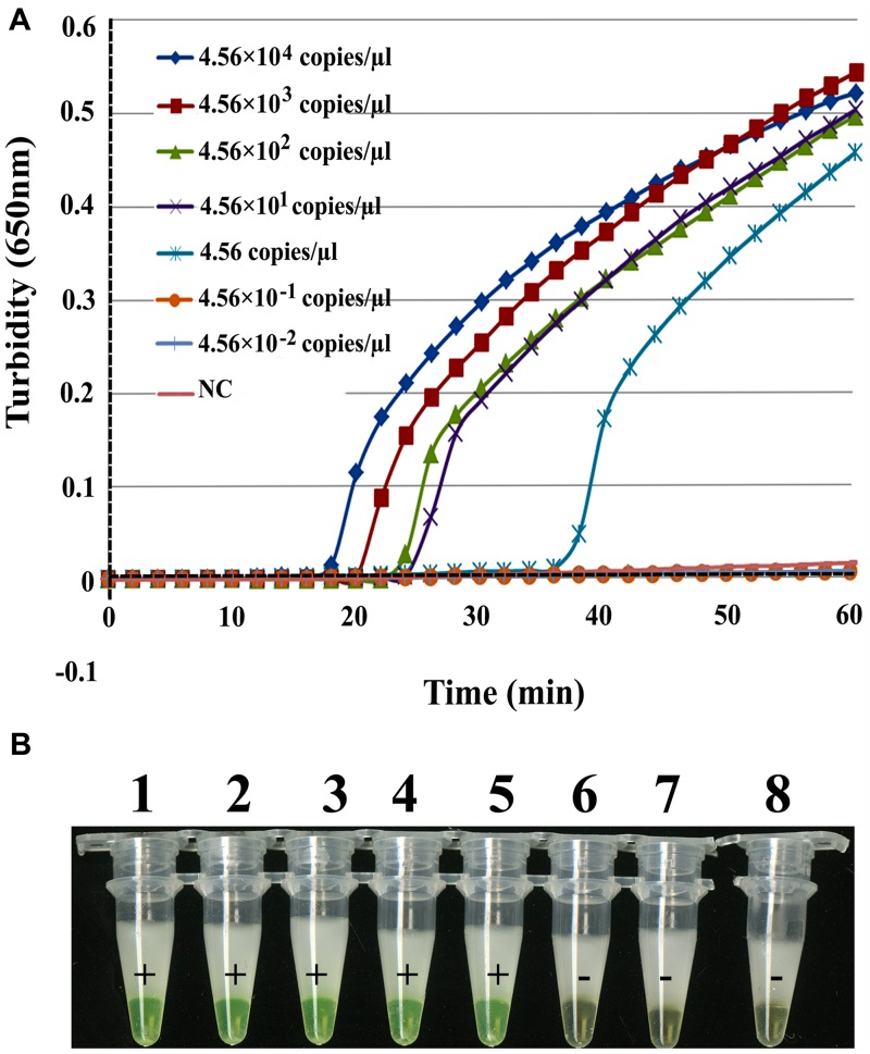 Comparison of RT-LAMP sensitivities in detecting EBOV NP . Artificial EBOV RNA was serially diluted 10-fold from 4.56 × 10 4 copies/μL to 4.56 × 10 -2 copies/μL. (A) Turbidity was monitored with a Loopamp Realtime Turbidimeter at 650 nm every 6 s. (B) The reaction was detected visually using a calcein fluorescent detection reagent. Artificial EBOV RNA concentrations were: tube 1, 4.56 × 10 4 copies/μL; tube 2, 4.56 × 10 3 copies/μL; tube 3, 4.56 × 10 2 copies/μL; tube 4, 4.56 × 10 1 copies/μL; tube 5, 4.56 copies/μL; tube 6, 4.56 × 10 -1 copies/μL; tube 7, 4.56 × 10 -2 copies/μL; tube 8, ddH 2 O.