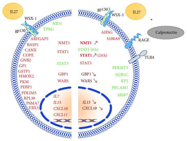 Qualitative representation of the calprotectin modulatory effects on IL27-mediated protein and gene expression in HUVECs. Colour code: red: upregulation, bold red (arrow up): increased upregulation compared to IL27 stimulation only, dark red (arrow down): decreased upregulation compared to IL27 stimulation only, and green: downregulation. IL27 receptor: gp130/WSX-1 and calprotectin receptors: RAGE (advanced glucated end product receptor) and TLR4 (Toll-like receptor 4).