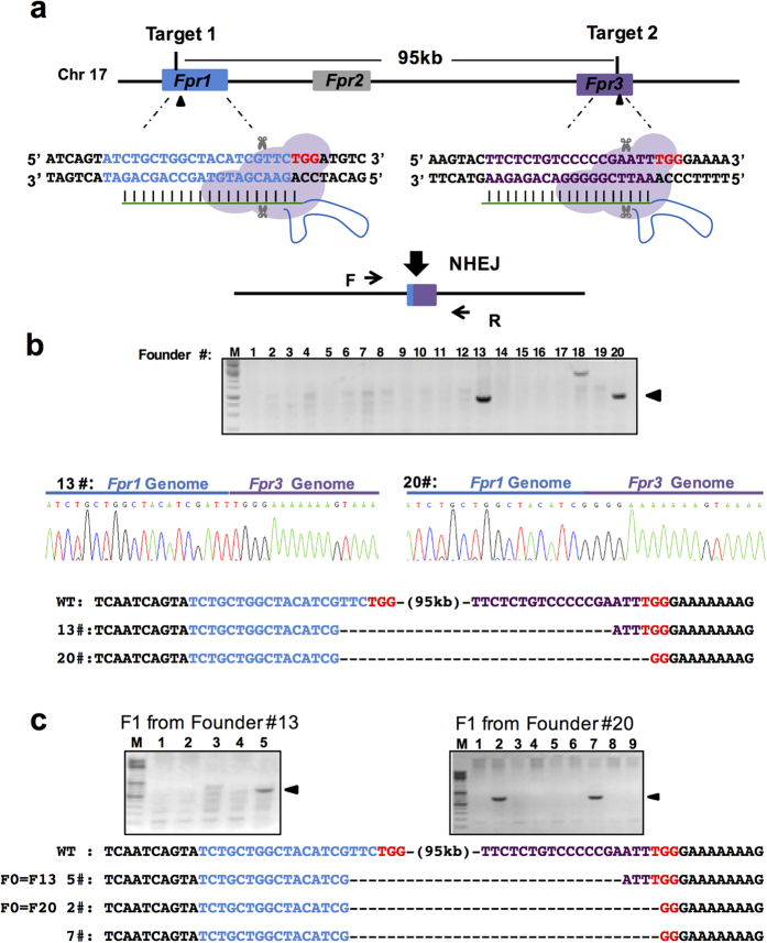 Deletion of the Fpr1-3 gene cluster by two sgRNAs spanning 95 kb. ( a ) Schematic overview of the strategy to delete a 95 kb DNA fragment on chromosome 17. The exons Fpr1 and Fpr3 are labeled in blue and purple respectively, and the target sites are indicated by arrowheads. PAM sequences are in red following the target sequence highlighted in blue or purple. After deletion of the DNA fragment, the resulting genomic sequence is composed of the 5′ part of Fpr1 (blue) and the 3′ portion of Fpr3 (purple). The locations of PCR primers (F, Forward; R, reverse) are indicated by arrows. ( b ) (Top) Genotyping of the founders. PCR analysis of F0 mice injected with <t>Cas9</t> protein and sgRNAs listed in ( a ). Arrowheads indicate the founders with deletion of the 95 kb genomic DNA fragment. (Below) Sequencing data of the PCR products from two founders showing the joint Fpr1/Fpr3 genomic sequence. M, DNA marker. ( c ) Genotyping analysis of F1 progenies from two founders showing germ line transmission of the 95 kb deletion. M, DNA marker.