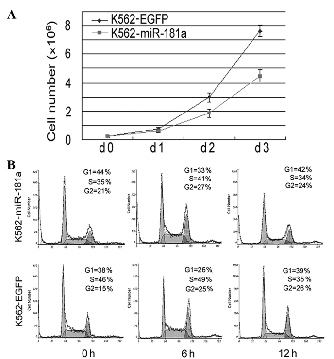 Overexpression of miR-181a in chronic myeloid leukemia K562 cells inhibits the proliferation of these cells by repressing the transition from the G 1 to S phase of the cell cycle. (A) miR-181a inhibited the growth of the K562 cells overexpressing miR-181a compared with the control K562-EGFP cells. (B) miR-181a prevented the K562 cells from undergoing the G 1 /S phase transition of the cell cycle. Compared with the control cells, a larger number of K562-miR-181a cells were arrested at the G 1 phase of the cell cycle, whereas the opposite was observed for the number of cells arrested at the S phase of the cell cycle. miR-181a, microRNA-181a; EGFP, enhanced green fluorescent protein.