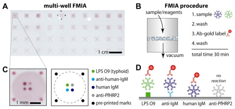 """Flow-through membrane immunoassay <t>(FMIA)</t> format. ( A ) Image of the multi-well assay membrane (96 well format, 10 × 4 wells shown). ( B ) Sequence of FMIA steps. An array of sample detection regions was defined by a BioDot 96-well microfiltration apparatus; the flow-through region for each sample (a """"well"""") was defined by an open-bottom well above the membrane and a corresponding hole in a rubber gasket below the membrane (see Materials and Methods). ( C ) Schematic of the capture spots and control spots on the nitrocellulose membrane for a single well. Protein-coated gold (40 nm) was spotted on the outer edges as markers for alignment of the capture membrane on the vacuum manifold. The four innermost spots are assay and control spots (spot spacing is 500 µm center to center). ( D ) Schematic of the indirect anti-LPS <t>IgM</t> assay and control assays."""