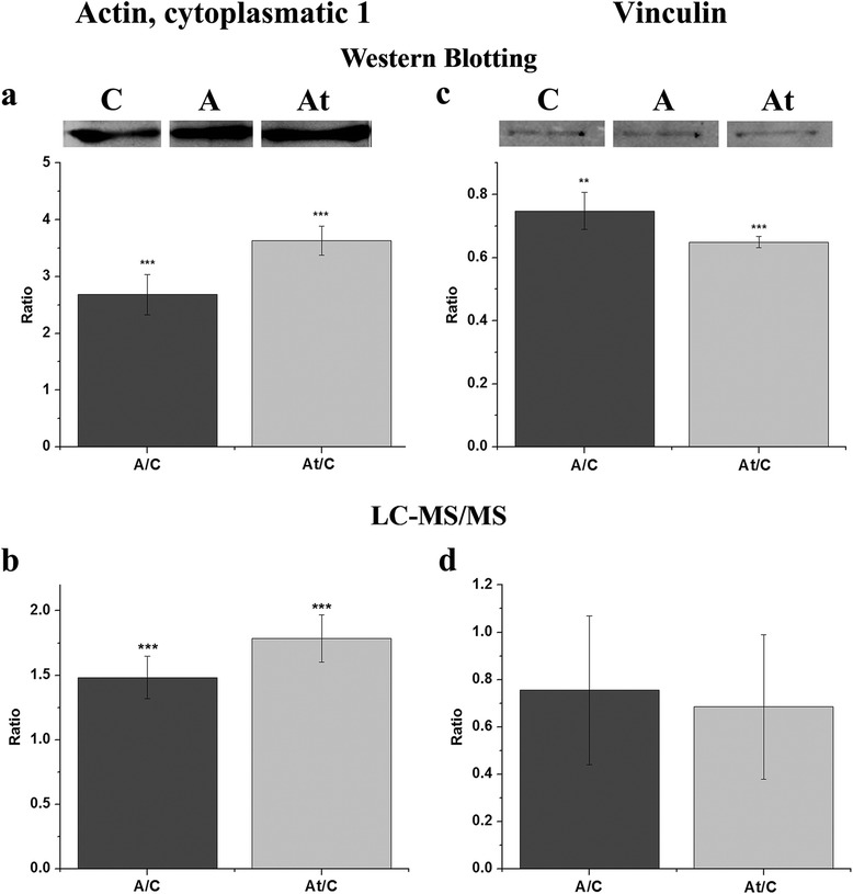 Immunological validation of mass spectrometry data for beta-actin and vinculin. Protein expression of beta-actin (actin cytoplasmatic 1) and vinculin was detected in membrane microdomains enriched fractions by Western Blotting ( a and c respectively), confirming the alteration caused by the hyperlipidemic condition (A) and statin treatment (At) when compared to the control samples (C), detected by LC-MS/MS analysis ( b and d respectively). The Western Blotting experiments were repeated three times. Data are expressed as means ± SD. ** p