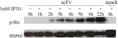 Expression time course of scFv which is soluble expressed in E. coli BL21/ (DE3). Crude extracts (30 μg protein per lane) from indicated time points before/after induction with 1 mM IPTG were separated by SDS-PAGE and blotted on PVDF membranes. Western Blot was performed as described in Methods . The upper lane shows target protein expression, the lower lane ( E. coli 60 kDa <t>HSP60</t> protein) represents the loading control. Mock represents the negative control (lysates of bacteria transformed with empty vector). Experiment shown is representative for at least three repeated experiments