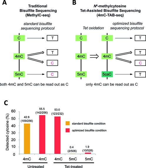 Comparison of MethylC-seq and 4mC-TAB-seq. ( A ) MethylC-seq converts C and a portion of 4mC to T. The remaining 4mC and almost all 5mC will be read as C. ( B ) 4mC-TAB-seq converts C, 5mC and a portion of 4mC to T, whereas about half of 4mC will be exclusively read as C. ( c ) Properties of 4mC and 5mC under different treatment conditions. Untreated or Tet-treated 4mC/5mC-containing model DNA is applied to either standard or optimized bisulfite treatment condition. Samples were PCR amplified, subcloned into TOPO vector and Sanger sequenced to quantify the number of 4mC or 5mC being read as C.