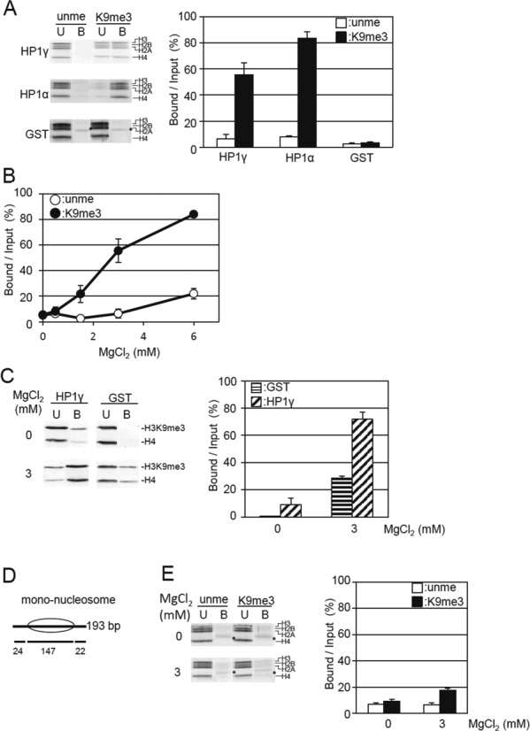 Magnesium ion induces the selective binding of HP1γ to H3K9me tetra-nucleosomes. ( A ) Effect of MgCl 2 on the binding of HP1γ to H3K9me3 tetra-nucleosomes. Unmethylated (unme) or H3K9me3 tetra-nucleosomes (K9me3) were incubated with GST-HP1γ (HP1γ) or GST-HP1α (HP1α) bound to GSH-Sepharose in the presence of 3 mM MgCl 2 , 50 mM NaCl. Unbound (U) and bound nucleosomes (B) are visualized (left panel), and the nucleosome core histones indicated by brackets were quantitated as in Figure 1C . Relative amounts of core histones in the bound fraction per input (%) were calculated and shown as mean ± S.E. ( n = 3) (right panel). ( B ) MgCl 2 concentration-dependent selective binding of HP1γ to H3K9me3 tetra-nucleosomes. The binding activity of HP1γ to unmethylated H3 (open circles) or H3K9me3 tetra-nucleosomes (closed circles) was determined and shown as mean ± S.E. ( n = 3) under the indicated concentration of MgCl 2 in the presence of 50 mM NaCl by pull-down assay as described in Figure 1C . ( C ) MgCl 2 concentration-dependent binding of HP1γ to native oligo-nucleosomes with H3K9me3 modification. GST-HP1γ (HP1γ) or GST (GST) bound to GSH-Sepharose was mixed with native oligo-nucleosomes and then pulled down under the condition including 50 mM NaCl, in the absence or presence of 3 mM MgCl 2 . The H3K9me3 and histone H4 in the unbound (U) and bound fractions (B) were analyzed as in Figure 1A (left panel). The amounts of H3K9me3 in the HP1γ-bound fractions over the input (%) are shown as mean ± S.E. ( n = 3) (right panel). ( D ) Schematic illustration of reconstituted mono-nucleosomes. The position of the nucleosomes on DNA is indicated by ellipses. Length (bp) of linker and nucleosome core region DNA are shown below. ( E ) Effect of MgCl 2 on the binding of HP1γ to H3K9me3 mono-nucleosomes. The binding of ummethylated H3 and H3K9me3 mono-nucleosomes (4 pmol of nucleosome core particle) to GST-HP1γ (80 pmol) bound to GSH-Sepharose in 10 μl of the reaction mixture was examin