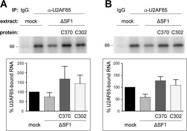 Deletion of the SF1 SURP-ID does not reduce U2AF65 binding to the pre-mRNA. ( A ) and ( B ) U2AF65 UV cross-linking to AdML 3′ splice site substrates. Splicing reactions containing radio-labeled RNA with a consensus (A) or weak (B) BPS, mock or SF1-depleted (ΔSF1) extracts complemented with 2.2 pmole His 6 -SF1-C370 or -C302 as indicated were incubated at 30°C for 15 min. Samples were UV cross-linked, RNase A-treated and immunoprecipitated with control IgG or anti-U2AF65, as indicated. RNA–protein complexes were separated by 10% SDS-PAGE. Gels were dried and exposed to PhosphorImager screens. The top panels show representative results of triplicate experiments; quantifications are shown in the bottom panels. '% U2AF65-bound RNA' indicates the percentage of the intensity of the cross-linked RNAs normalized to the RNA immunoprecipitated with anti-U2AF65 from mock-treated extract. Data are shown as mean value ± SEM.