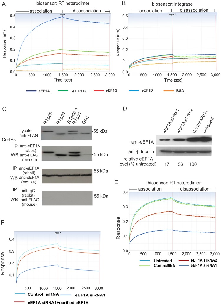 eEF1A binds directly and tightly to HIV-1 RT in vitro . ( A ) Biolayer interferometry assays (BLI) of a biotinylated HIV RTp66/p51-loaded biosensor with 60 nM of purified eEF1A, eEF1B, eEF1D, eEF1G or BSA as analytes. ( B ) BLI assays using a biotinylated HIV-1 IN-loaded biosensor as described in ( A ). ( C ) Co-IP of RT with eEF1A. HEK 293T cells were transfected with plasmids to express FLAG-tagged RTp66, RTp51, both RTp51 and RTp66, or Gag. Expression of the proteins in cell lysates was confirmed by western blot using anti-FLAG antibody (upper panel). The cell lysate was used for co-IP analysis with a rabbit anti-eEF1A capture antibody. Capture of RT subunits and Gag was examined by western blot with an anti-FLAG antibody (second panel). Western blot with a mouse anti-eEF1A antibody was used to confirm eEF1A capture (third panel). Nonspecific binding to the beads was excluded by IP using an anti-rabbit IgG capture antibody followed by western blot using an anti-FLAG antibody (lower panel). ( D ) HEK293T cells were treated with two eEF1A siRNAs, one control siRNA or no siRNA for 48 h before preparing a cell lysate. The levels of eEF1A (upper panel) and β tubulin (lower panel) in the cell lysate were determined by western blot. Densitometry analysis of the western blot image was used to calculate the relative levels of eEF1A in each siRNA-treated sample compared to the untreated control ( E ) Sensorgrams of association and dissociation of cell lysates containing various levels of eEF1A to RTp66-biosensors. ( F ) Addition of purified MYC/DDK-eEF1A1 protein to a cell lysate where eEF1A was strongly reduced by siRNA treatment restored a sensograms profile indicative of strong RT interaction. All experiments were performed at least three times and representative results are shown.