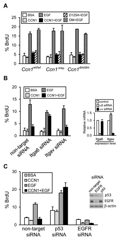 CCN1 inhibits hepatocyte DNA synthesis through integrin α 6 and p53 A, freshly isolated hepatocytes from adult Ccn1 wt/wt , Ccn1 ΔHep and Ccn1 dm/dm mice were incubated with purified wild type, DM, and D125A CCN1 proteins (10 μg/ml each) with or without EGF (0.1 μg/ml) at 37°C for 2 days, and BrdU incorporation determined. Percentage of BrdU-positive cells were counted in 5 random HPF and presented as mean ± s.d. of triplicate determinations. Experiments were repeated three times with similar results. B, hepatocytes from Ccn1 wt/wt mice were incubated with siRNAs targeting integrin α 6 or α v subunits, or a non-targeting control, and treated with CCN1, EGF, or both, and BrdU incorporation assessed as above. Knockdown was confirmed by qPCR of the target integrin mRNA (right). C, p53 and EGFR expression was knocked-down by siRNAs in hepatocytes (inset), and cells were further incubated with CCN1 with or without EGF, and BrdU incorporation assayed as above.