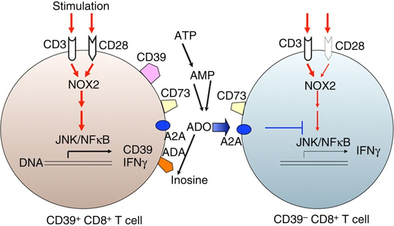 Schematic illustration of role of CD39 in Tc1 biology. Anti-CD3 or/and CD28 stimulation induces ROS generation, which is associated with the activation of CD3 or/and CD28 intracellular signaling cascades, induction of IFNγ production and heightened CD39 expression in CD8 + T cells. Because of preferential CD28 expression, CD39 + CD8 + T cells exhibit prominent ROS signalling and show excessive IFNγ production. CD39 + CD8 + T cells also initiate purinergic signalling and generate adenosine, which can further inhibit JNK and NFκB signalling and decrease IFNγ production by these CD39 − CD8 + T cells via A2A receptor responses 51 52 .