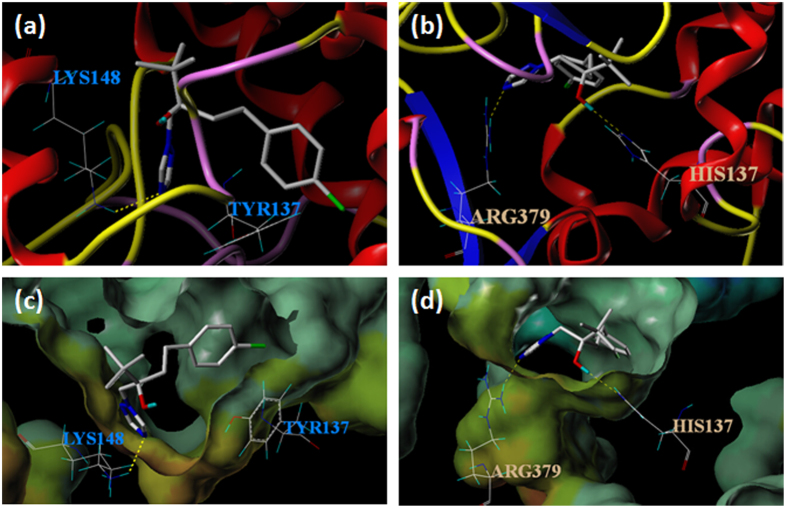 Molecule docking for the VvCYP51-tebuconazole complex. ( a ) Tebuconazole formed hydrogen bond (dotted line) with amino acid Lys148 in VvCYP51. ( b ) Tebuconazole formed hydrogen bond (dotted lines) with amino acids Arg379 and His137 in VvCYP51 with Y137H. ( c ) The hydrophobic and electrostatic environment of binding between Lys148 and VvCYP51. ( d ) The hydrophobic and electrostatic environment of binding between Arg379, His137 and VvCYP51 with Y137H. The color range for hydrophobicity potential ranges from brown (highest lipophilic area of the molecule) to blue (highest hydrophilic area). Electrostatic potential ranges from red (most positive) to purple (most negative). The colors of the environment in ( c,d ) did not change significantly from green and beige to blue or brown, indicating that the point mutation did not significantly change the hydrophobic and electrostatic environment of binding.