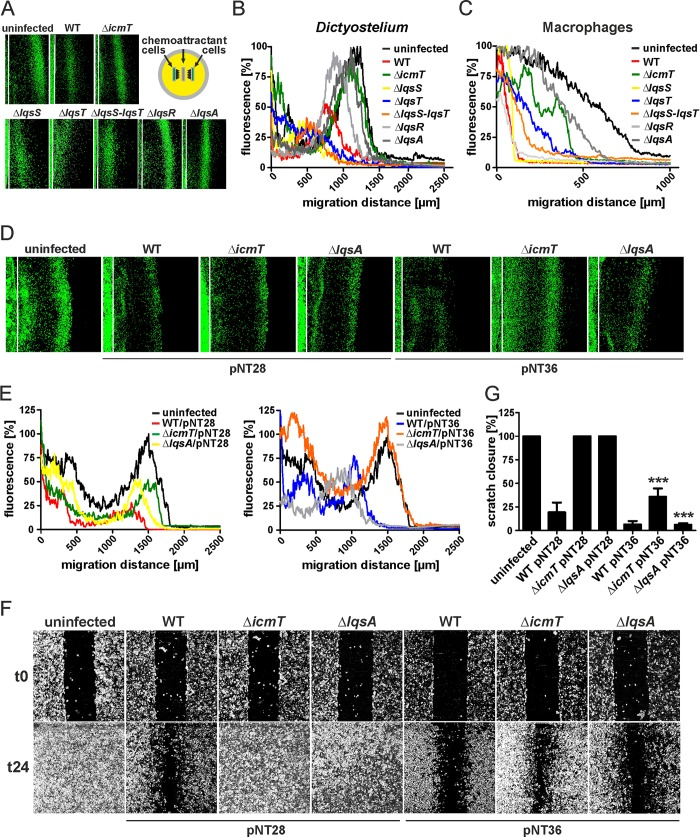 Effect of L . pneumophila lqs genes on host cell migration. D . discoideum strain Ax3 producing GFP (pSW102) was infected (MOI 10, 1 h) with (A) L . pneumophila wild-type, Δ icmT , Δ lqsS , Δ lqsT , ΔlqsS-lqsT , Δ lqsR or Δ lqsA mutant strains harboring pSW001 (DsRed), or with (D) the strains harboring pNT28 (GFP) or pNT36 (GFP, LqsA). An under-agarose assay was used to monitor the migration towards folate (1 mM) for another 4 h. The white lines represent the edge of the sample wells. (B, E) Graphs of the data from (A, D) plotted as per cent GFP fluorescence intensity versus migration distance. (C) Murine RAWs 264.7 macrophages were infected (MOI 10, 1 h) with L . pneumophila wild-type, Δ icmT , Δ lqsS , Δ lqsT , ΔlqsS-lqsT , Δ lqsR or Δ lqsA mutant strains. Cells were stained with Cell Tracker Green BODIPY and let migrate towards CCL5 (100 ng/ml) in an under-agarose assay for another 4 h. Graphs show the per cent fluorescence intensity versus migration distance. (F) Confluent cell layers of A549 epithelial cells were left uninfected or infected (MOI 10, 1 h) with L . pneumophila wild-type, Δ icmT or Δ lqsA mutant strains harboring pNT28 (GFP) or pNT36 (GFP, LqsA), scratched and let migrate for 24 h. Prior to imaging (0, 24 h), the detached cells were washed off. (G) The scratch area was quantified using ImageJ software at 7 different positions per condition in triplicate samples. Means and standard deviations of the triplicate samples are shown (pNT28 vs. pNT36: *** p
