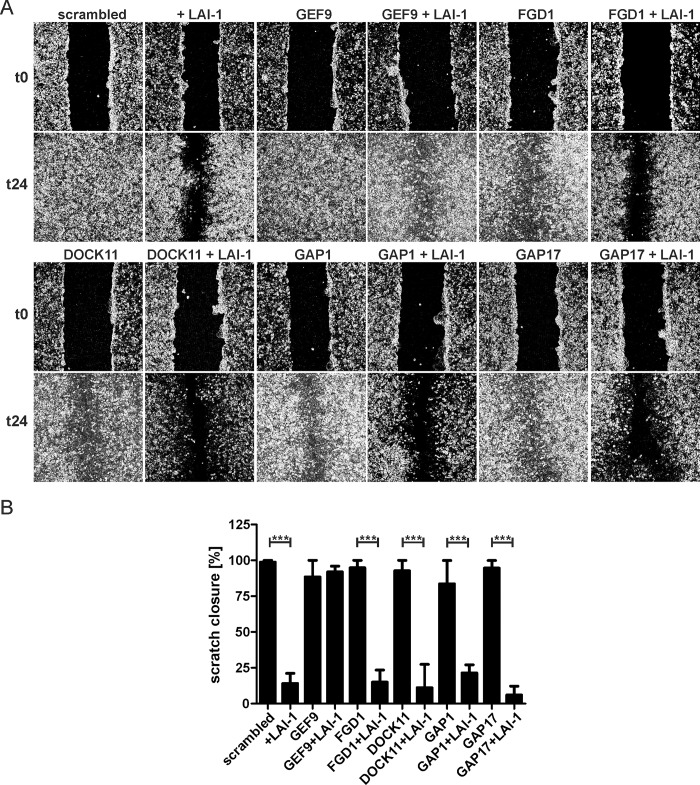 LAI-1-dependent inhibition of cell migration requires the Cdc42 GEF ARHGEF9. (A) Confluent cell layers of A549 cells were treated for 2 days with siRNA against the different Cdc42 GEFs or GAPs indicated. The cells were then treated or not with LAI-1 (10 μM, 1.5 h), scratched and let migrate for 24 h. Prior to imaging (0, 24 h), the detached cells were washed off. (B) The scratch area was quantified at 6 different positions per condition using ImageJ software. Means and standard deviations of 3 samples are shown, which are representative of 3 independent experiments (*** p