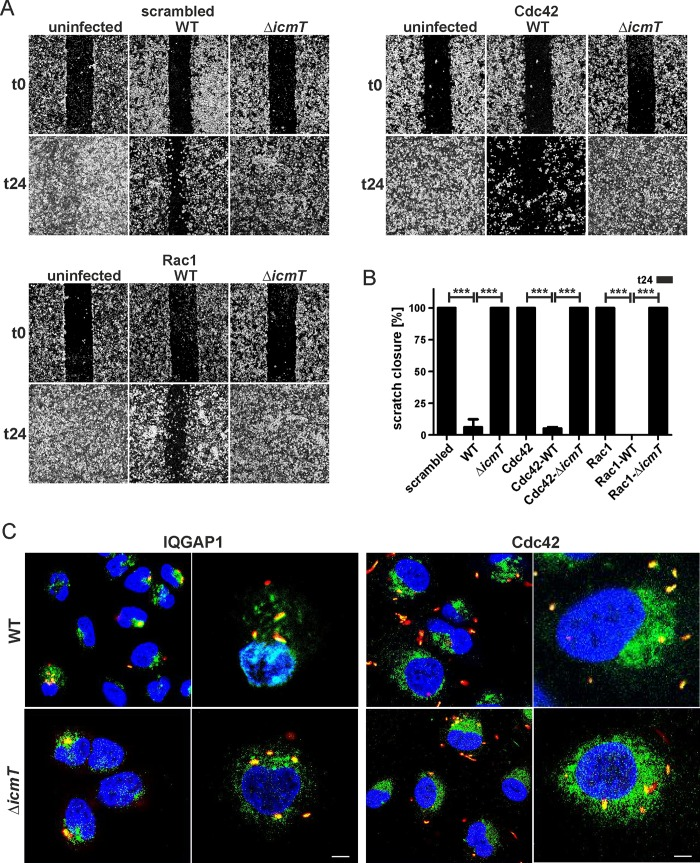 Migration inhibition by L . pneumophila is augmented in the absence of Cdc42. (A) Confluent cell layers of A549 cells were treated with (A) scrambled siRNA or siRNA against (B) Cdc42 or (C) Rac1 for 2 days, left uninfected or infected (MOI 10, 1 h) with L . pneumophila wild-type or Δ icmT mutant bacteria, scratched and let migrate for 24 h. Prior to imaging (0, 24 h), the detached cells were washed off. (B) The scratch area was quantified after 24 h at 7 different positions per condition using ImageJ software. Means and standard deviations of triplicate samples per condition are shown, which are representative of 3 independent experiments (*** p