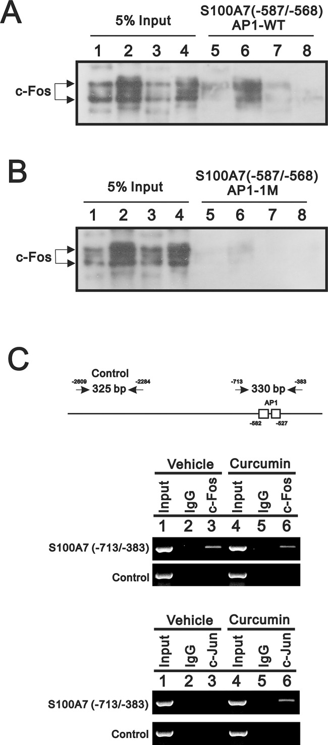 Curcumin prevented the binding of AP-1 to the functionally important AP1-1 site carried in the S100A7 promoter region. Biotin-labelled DNA fragments compatible with the sequence as -587 to -568 nucleotides of S100A7 promoter carrying either wild-type or mutated AP1-1 binding site were used to attach AP-1 complexes contained in the nuclear extracts prepared from HaCaT cells pre-incubated with PMA (lane(s) 2 and 6), curcumin (lane(s) 3 and 7) or combinations (lane(s) 4 and 8). The DNA-AP-1 complexes were immunoprecipitated by anti-c-Fos antibody than further processed for western blotting analysis since AP1-1 site acts as the predominant functional site for c-Jun/c-Fos to activate S100A7 promoter. ( A ) The presence of c-Fos at the wild-type AP1-1site was analyzed by western-blotting using anti-c-Fos antibody. Shown in lane(s) 1–4 are the 5% input of elute derived for each indicated condition. The amount of c-Fos recruited to the AP1-1 site is increased by the AP-1 stimulant PMA (comparing lane 6 to lane 1) but reduced by curcumin (compare lane 7 to lane 5). Moreover, the stimulatory effect derived from PMA treatment is also inhibited by curcumin (compare lane 8 to lane 6). ( B ) The presence of c-Fos at the mutated AP1-1site was also analyzed. Obviously, the recruitment of AP-1 is abolished by the mutagenesis performed on AP1-1 site (compare lane(s) 5–8 to lane 1~4). ( C ) The two PCR products from respective primer pairs covered the DNA fragment containing two AP-1 sites and indicated control region of endogenous S100A7 promoter were analyzed in the ChIP analysis. The different effect of curcumin were found using the respective antibody against different subunit of AP-1 complex, such as phosphorylated c-Fos and c-Jun. The results indicated more c-Jun-containing complexes will be recruited by curcumin for AP-1 sites occupancy in the endogenous S100A7 promoter. Results (A, B and C) are representative of two independent experiments.