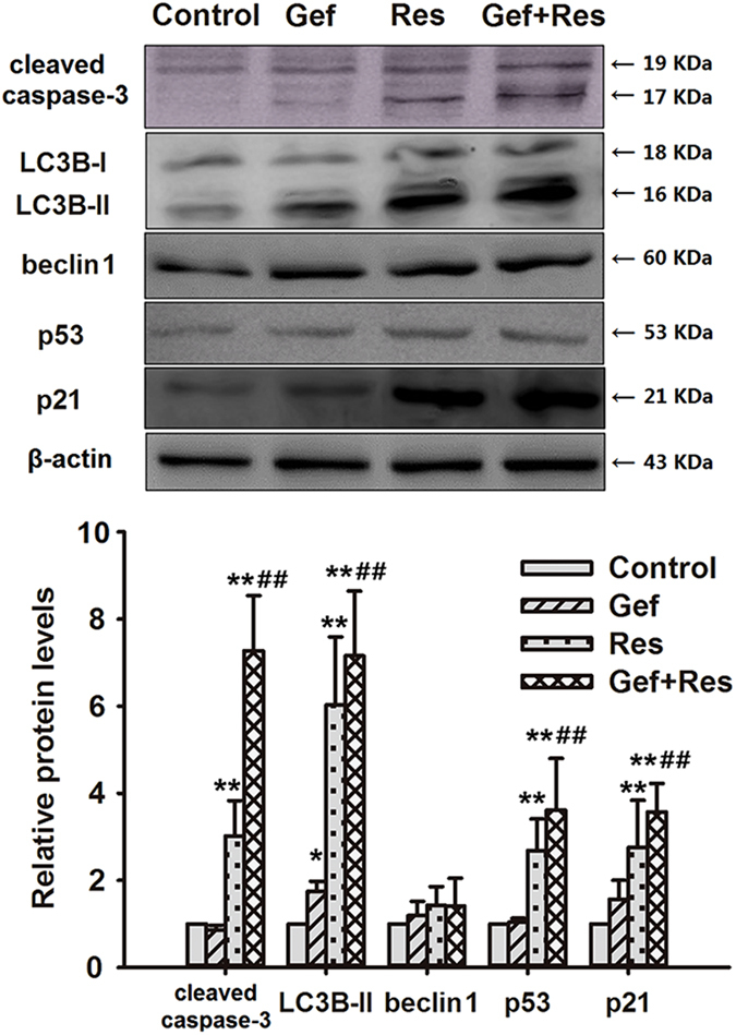 Cotreatment with Res and Gef affects the expression of apoptosis-, autophagy- and senescence-related proteins in PC9/G cells. Cells were treated with Gef (1 μM) alone or combined with Res (40 μM) for 72 h. Then, the expression levels of cleaved caspase-3, LC3B-II, beclin 1, <t>p53,</t> and p21 protein were analysed by Western blotting. Data are presented as means ± SD (n = 3). * P