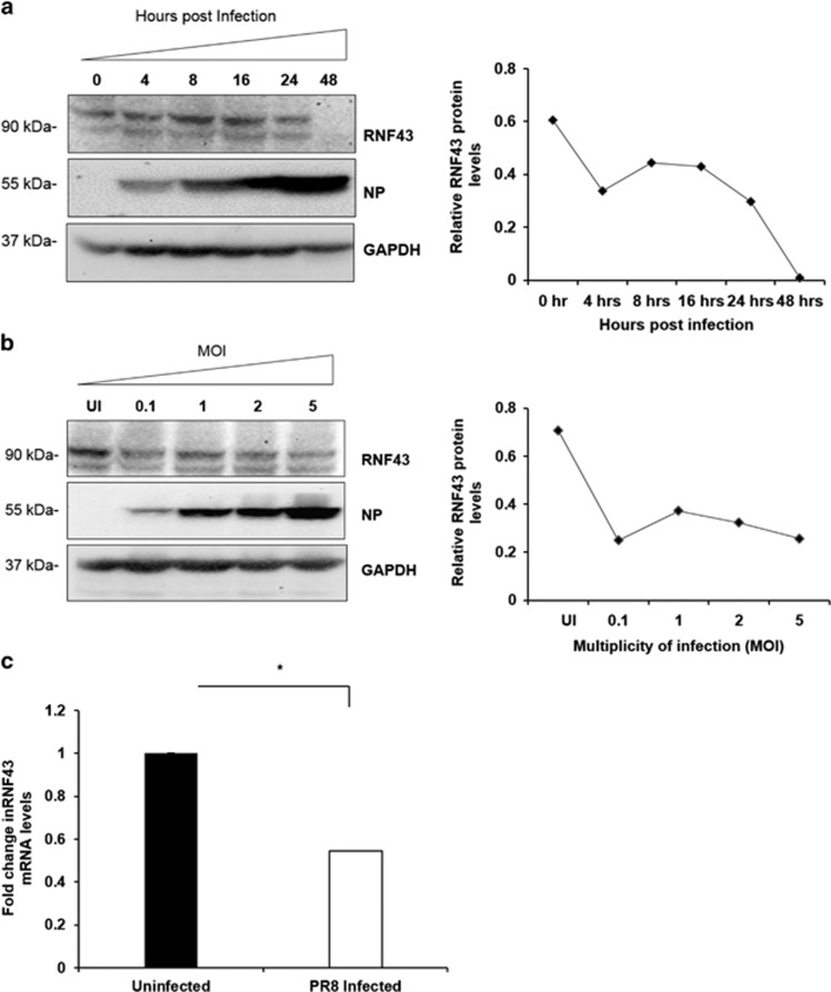 IAV infection decreases abundance of RNF43 at both mRNA and protein levels. ( a ) Lung epithelial A549 cells were infected with PR8 virus at an MOI of 1 and cells were harvested at indicated time intervals post infection and the whole-cell lysate was resolved on SDS-PAGE for Western blot analysis of RNF43, NP and GAPDH. ( b ) A549 cells were infected with PR8 virus at indicated MOIs and harvested at 24-h post infection for Western blot analysis of RNF43, NP and GAPDH. Quantitative representation of the immunoblots of both the experiments is shown as the line diagram after normalization with GAPDH (extreme right). ( c ) A549 cells were mock infected or infected with PR8 virus for 24 h and total RNA was extracted f ollowed by rnf43 mRNA estimation with qRT-PCR. Results are shown as mean of ±S.D. of three independent experiments. * indicates statistically significant difference at P