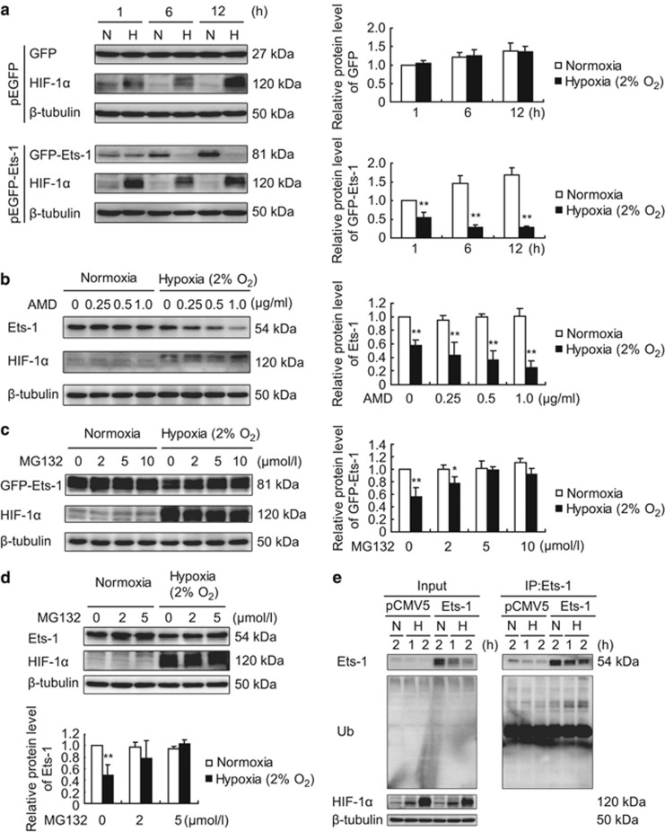 Severe hypoxia promotes ubiquitin-proteasome-mediated degradation of Ets-1 protein in MIN6 cells. AMD, actinomycin D; H, hypoxia; N, normoxia. ( a ) Effect of severe hypoxia on pEGFP vector-mediated ectopic protein expression in MIN6 cells. MIN6 cells were transiently transfected with pEGFP (as a control) or pEGFP-Ets-1. Twenty-four hours after transfection, cells were maintained in normoxic condition or exposed to 2% O 2 for 1, 6 and 12 h, followed by total protein extraction and western blotting analysis. Anti-GFP antibody was used for immunoblotting of GFP and GFP-Ets-1 fusion protein. ( b ) Actinomycin D enhances hypoxia-induced decrease in Ets-1 protein level. After treatment with actinomycin D at the indicated concentrations, MIN6 cells were immediately exposed to 2% O 2 for 1 h followed by western blotting analysis. DMSO was used as the solvent control. ( c – e ) Ubiquitin-proteasome-mediated degradation of Ets-1 protein. ( c ) MIN6 cells were transiently transfected with pEGFP (as a control) or pEGFP-Ets-1. At 24 h following transfection, the cells were treated with MG132 at the indicated concentrations and then immediately exposed to 2% O 2 for 1 h. ( d ) MIN6 cells were treated with MG132 at the indicated concentrations and then immediately exposed to 2% O 2 for 1 h. ( c and d ) Total proteins were extracted and the protein levels of GFP-Ets-1 and endogenous Ets-1 were analyzed by western blotting using anti-Ets-1 antibody. ( a – d ) The left panels ( a – c ) and upper panel ( d ) show representative western blots. The right panels ( a – c ) and lower panel ( d ) show the relative quantification of normalized GFP, GFP-Ets-1 and Ets-1 levels to β -tubulin. The average values and standard deviations ( n =3) are shown. *and **indicate P