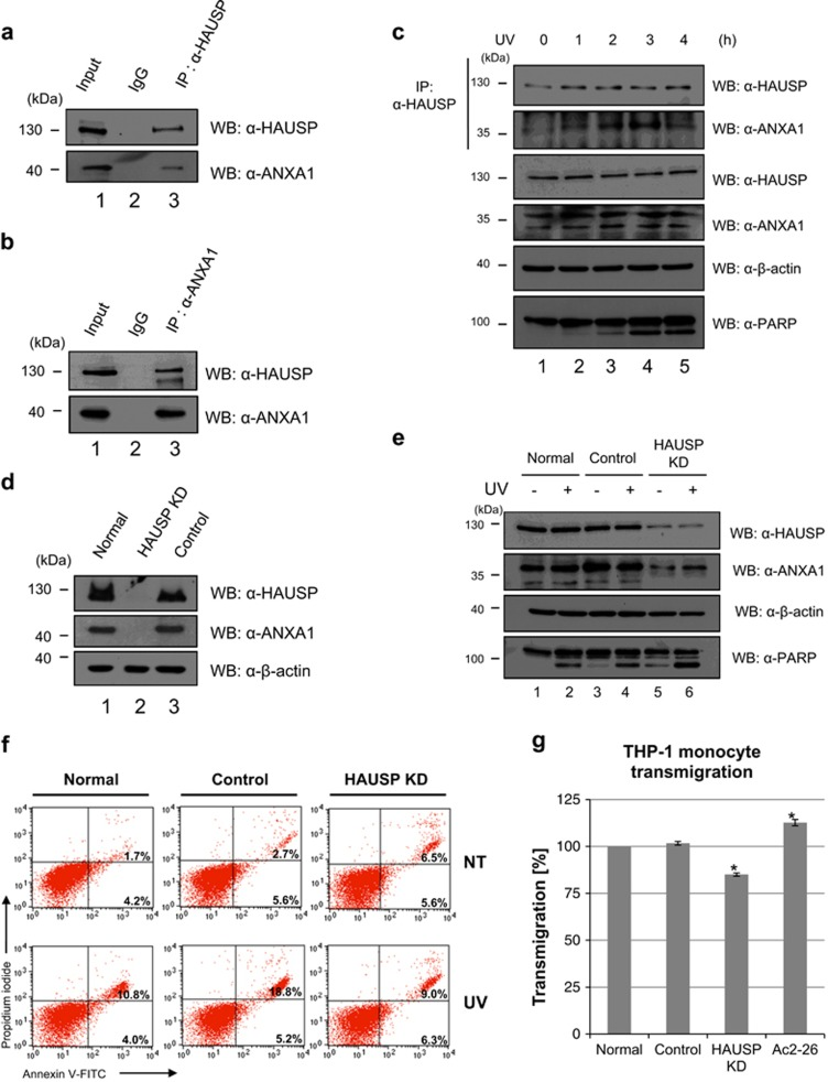 The role of interaction between HAUSP and ANXA1 following UV in Jurkat cells. ( a , b ) Endogenous binding of HAUSP and ANXA1 is confirmed by endogenous immunoprecipitation analysis. Jurkat cell lysates were immunoprecipitated with an anti-HAUSP or an anti-ANXA1 antibody. Then, western blotting was performed to detect ANXA1 or HAUSP expression using the respective antibodies. ( c ) Jurkat cells, time dependently incubated with 30 mJ/cm 2 UV treatment, were lysed and immunoprecipitated with an anti-HAUSP antibody. Then, ANXA1 levels were detected by western blotting using an anti-ANXA1 antibody. ( d ) HAUSP-depleted (HAUSP KD) and control shRNA transduced (Control) Jurkat cells were generated as shown in Figure 4c . Depletion of HAUSP compared with normal Jurkat cells was detected by western blotting using an anti-HAUSP antibody. ( e ) Normal, control shRNA transduced (Control), and HAUSP-depleted Jurkat cells (HAUSP KD) were exposed to UV followed by incubation for 4 h. Then, cell lysates were immunoprecipitated with an anti-HAUSP antibody. Subsequent western blotting was performed with indicated antibodies. ( f ) Cells were stained with Annexin <t>V-FITC/PI</t> for verifying the apoptotic or necrotic cell ratio. ( g ) Jurkat, control, and HAUSP KD Jurkat cells were exposed to UV and incubated for 3 h. Then, cell supernatants were harvested and placed into the lower chamber. Subsequently, THP-1 monocytes cultured in serum-free media were placed into the upper chamber and incubated with respective cell supernatants in addition to Ac2-26 containing media. The transmigration ratio was detected as described in Materials and Methods . Each value represents the mean (±S.D.) of a representative of three independent experiments, and an asterisk mark (*) means statistical significance