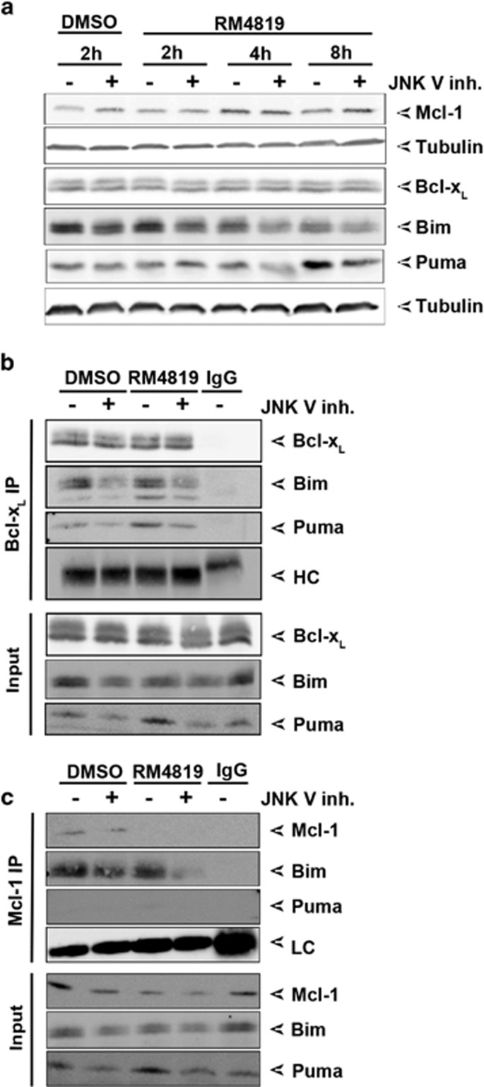 JNK mediates Bim and Puma induction and activation. ( a ) Caco-2 cells were pretreated with buffer control or JNK V inhibitor (2.5 μ M) for 1 h before treatment with 0.1% DMSO or 20 μ M RM4819 for 2, 4 and 8 h. Mcl-1, Bcl-x L , Bim, and Puma were detected by western blot. Tubulin served as a loading control. ( b and c ) Caco-2 cells were pretreated with JNK V inhibitor for 1 h, before stimulation with RM4819 or DMSO for 8 h. Bcl-x L ( b ) and Mcl-1 ( c ) were immunoprecipitated, and Puma and Bim were detected by western blotting. IgG, isotype control; HC, immunoglobulin heavy chain; LC, immunoglobulin light chain