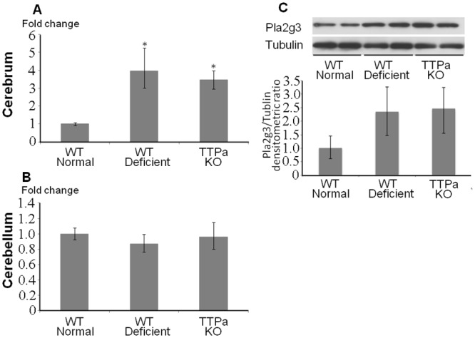 Induction of Pla2g3 expression in cerebrum by oxidative stress. A , B , Quantitative RT-PCR results of Pla2g3 in cerebrum and cerebellum are shown. Fold changes to the aged wild-type mice on normal diet are indicated. n = 4 in each group. C , Western blots for Pla2g3 and alpha-tubulin are shown. Abbreviation used; WT normal; wild type 29 months old mice fed on normal diet, WT deficient; 29 months old wild type mice fed on vitamin E deficient diet, ttpKO deficient; 29 months old Ttpa -/- mice fed on vitamin E deficient diet. *p