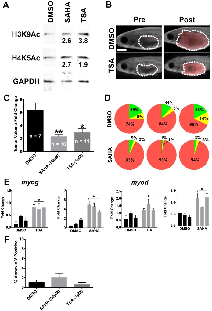 TSA and SAHA reduced tumor growth and induced myogenic differentiation in vivo . (A) Western blots demonstrating hyperacetylation of histone H3 (Lys9) and histone H4 (Lys5) in zebrafish ERMS treated with 1 μM TSA or 50 μM SAHA. GAPDH was used as loading control. The values shown represent fold change in band intensity from TSA or SAHA treatment relative to DMSO after normalizing to loading control. (B) Representative pre- and post-treatment images of zebrafish ERMS treated with DMSO (vehicle) or 1 μM TSA. Dotted line outlines the tumor in each fish. Scale bar = 2 mm. (C) Summary of tumor volume change of zebrafish Tg( myf5 :GFP; mylz2 :mCherry) ERMS treated with DMSO, 50 μM SAHA or 1 μM TSA. Overlaid images of bright field and red fluorescent channel are shown. Error bar indicates standard error of means. n = number of animals treated in each cohort. (D) Summary of quantitative Fluorescence Activated Cell Sorting analysis on ERMS treated with DMSO or 10 μM SAHA. Each pie chart shows relative proportion of each tumor cell subpopulation in an individual treated tumor. Green: myf5 :GFP + / mylz2 :mCherry − cells; yellow: myf5 :GFP + / mylz2 :mCherry + cells; red: mylz2 :mCherry + / myf5 :GFP − cells. (E) Quantitative RT-PCR analysis of myog and myod mRNA expression in ERMS treated with DMSO, 1 μM TSA or 50 μM SAHA. Each bar demonstrates an individual tumor. Each error bar indicates standard deviation of technical triplicates. (F) Annexin V analysis of ERMS tumors treated with DMSO, 50 μM SAHA, or 1μM TSA. 6 animals were analyzed per group. Each error bar indicates standard deviation. * indicates p